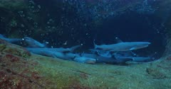 Whitetip reef Shark (triaenodon obesus). reefs of the revillagigedo archipelago, Pacific ocean, Mexico.