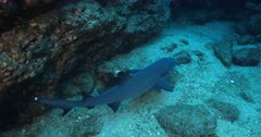 Whitetip reef Shark (triaenodon obesus). reefs of the revillagigedo archipelago, Pacific ocean, Mexico.