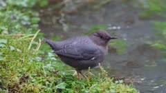 American Dipper searching for food in stream