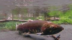 male coho salmon ready to spawn