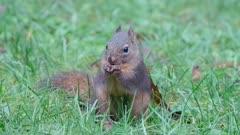 Douglas Tree Squirrel feeding on big leaf maple seed