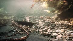 """2 male coho salmon """"jacks"""" fight over spawing rights"""