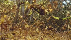 maple leaves falling in coniferous forest slow motion