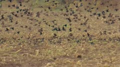 Large flock of red wing blackbirds flying from field