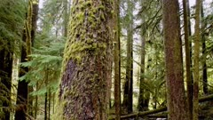 Old Growth Forest of Douglas Fir