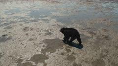 Black Bear wandering at low tide on tide flats
