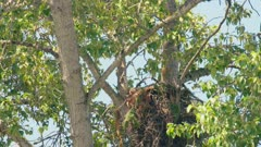 Red Tailed Hawk bringing in snake to nest