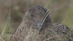 skua in norway - gull