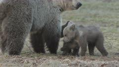 wild european brown bear