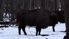 European bison in Romania