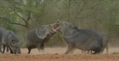 Javelinas fighting