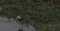 African jacana and pied wagtail hunting