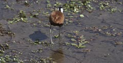 African jacana looking for lunch