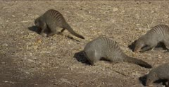 banded mongooses finding tidbits on the ground and eating them