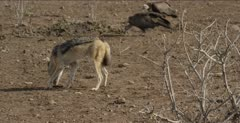 black-backed jackal walking with scrap, chewing on it, trying to keep it away from hooded vulture