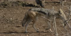 hooded vulture looking for scraps left by black-backed jackal