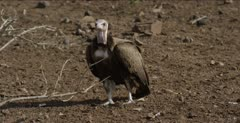 hooded vulture looking for scraps left by black-backed jackal, following jackal