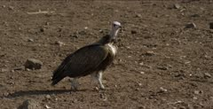 black-backed jackal walking and looking for scraps, hooded vulture watching