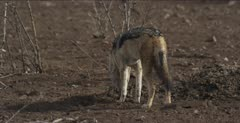 black-backed jackal looking for scraps