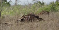 cape buffalo carcass with black-backed jackal peaking out from behind, close