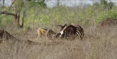 black-backed jackal on cape buffalo carcass pulling on head, cape vulture comes in, then other vultures come in