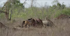 black-backed jackal and vultures on cape buffalo carcass