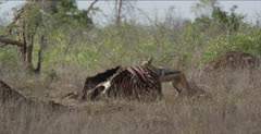 black-backed jackal on cape buffalo carcass, chases off vultures