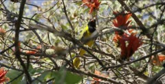 black-headed oriole at coral bean tree flowers