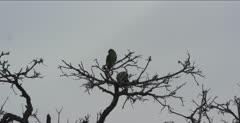 brown-headed parrots sitting in dead tree