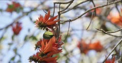 collared sunbird at coral bean tree flowers