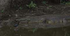 black crake and crocodile