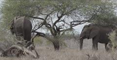 several elephants eating an Acacia tree