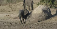 elephant scratching on rock and then walking away
