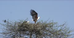 fish eagles 2 in a nest, 1 flies