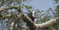fish eagle calling sound good