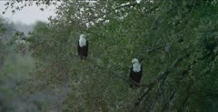 fish eagles sitting in a tree