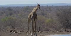 giraffe finished getting a drink, walks away