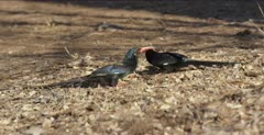 green wood hoopoe probing in ground