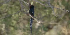 green wood hoopoe probing in seed pod