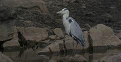 grey heron looking