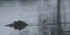 grey heron in water on hippo's back
