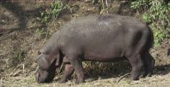 hippo grazing, oxpecker pecker holes on back and left back leg