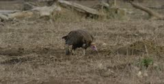 hooded vulture pecking through rhino droppings