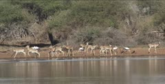 yellow-billed storks and impala and zebra drinking at a waterhole