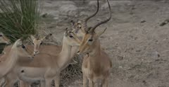 red-billed oxpeckers on head and neck of impala