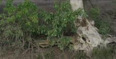 fig tree artistic