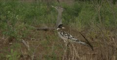 kori bustard walking