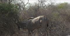 male kudu browsing