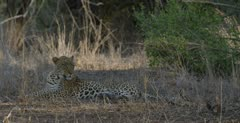 male leopard resting, cropped