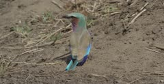lilac-breasted roller on ground looking around